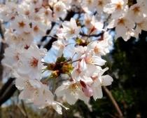 今子浦の桜
