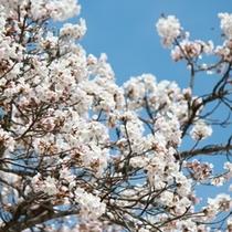 【はなや周辺の彩】〜桜〜