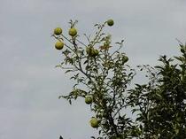 柚子の実り