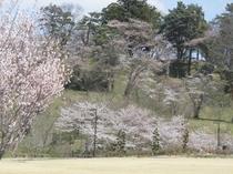 亀ヶ城址公園の桜