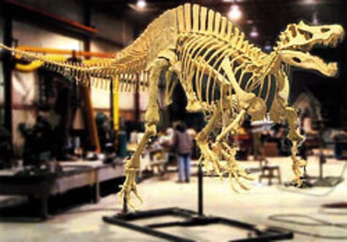 スピノサウルス科の骨格
