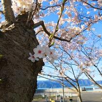 ■小浜公園の桜2