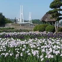 ★しょうぶ苑(ときわ公園)★約150種類8万本の花菖蒲が最も美しく咲き乱れる6月中旬に開催