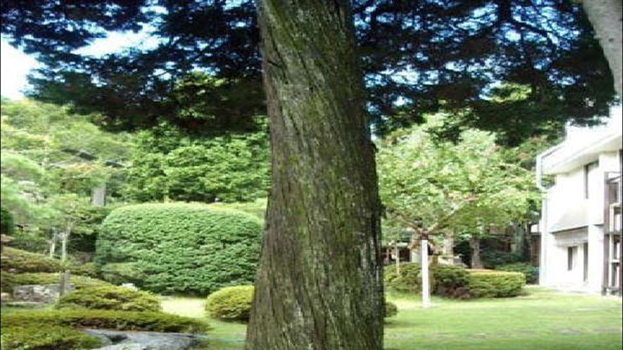 ◆庭のヒムロ杉
