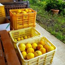 *みかん農園が併設されています。11月〜12月の収穫時期には、こんなにたくさんのみかんが獲れます!