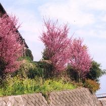 *■春にはピンク色の桜が満開になります。
