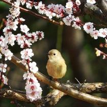 *毎年2月上旬から3月上旬まで開催の曽我梅林梅まつり(梅まつりイメージ)