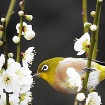 *35000本の梅の木が群生する曽我梅林梅まつり 毎年2月上旬から3月上旬まで開催(梅イメージ)