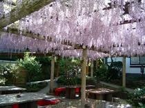 樹齢100年以上の藤棚