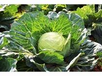 住職の畑のお野菜