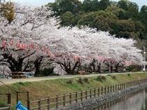 滝の宮公園 桜並木