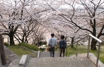 山根公園 桜