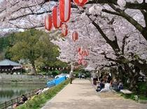 滝の宮公園 桜
