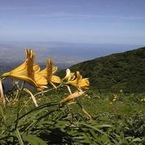 高原の花 ニッコウキスゲ