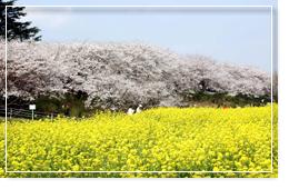 桜の名所 権現堂桜堤