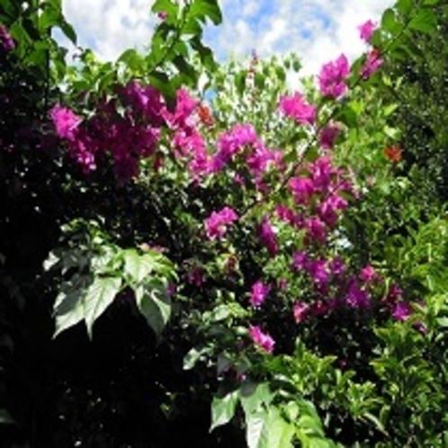 庭のブーゲンビリア