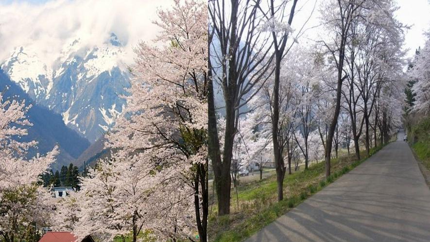 ■桜と谷川岳■