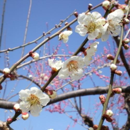 みさと梅林の梅の花2月下旬〜3月いっぱいが見頃