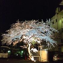 【夜桜】当館駐車場にある桜をライトアップ♪