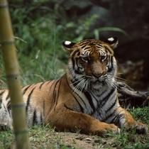 いしかわ動物園 トラ (当旅館「たがわ龍泉閣」よりお車で約5分)