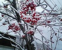 ナナカマド雪景色
