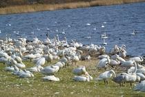大沼公園に飛来の白鳥Ⅱの1