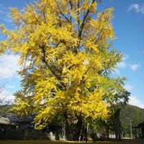 【岩部八幡神社の大イチョウ】秋空に赤と黄のコントラストが映えます。
