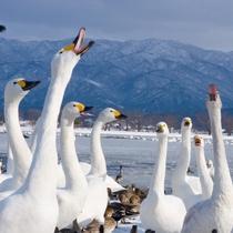 瓢湖の白鳥(阿賀野市)【写真提供:公益財団法人新潟県観光協会】