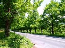 メタセコイア並木道