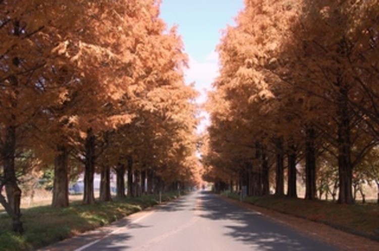 15 秋のメタセコイヤ並木
