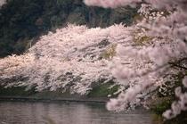 15 海津大崎の桜