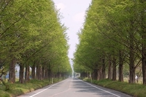 15 春のメタセコイヤ並木