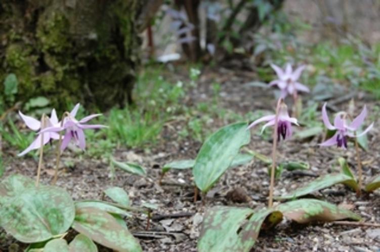 15 カタクリの花