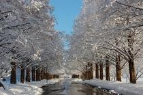 15 冬のメタセコイヤ並木
