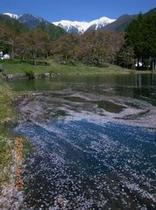 桜舞う駒ヶ池