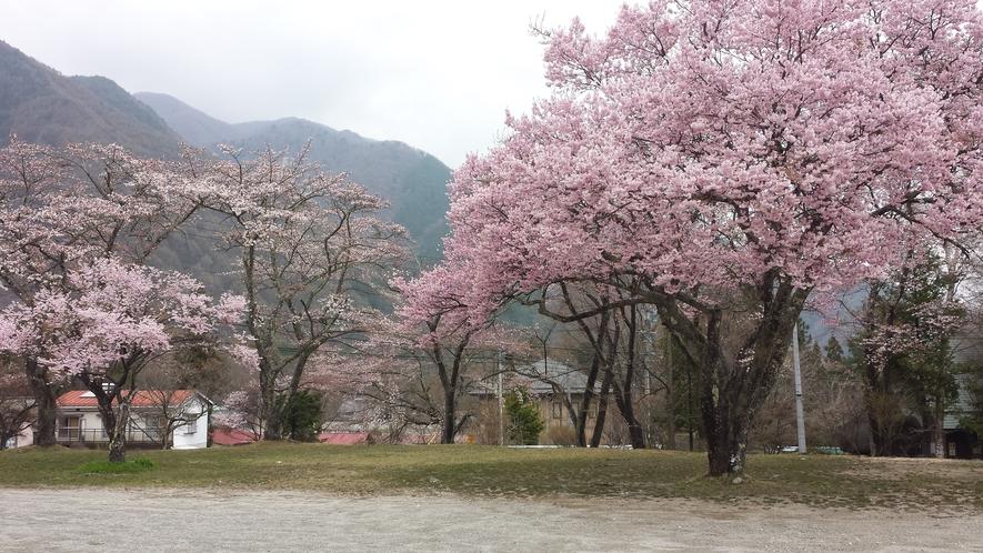 駒ヶ池近くの桜