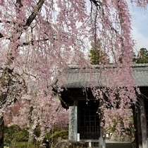 光前寺枝垂桜