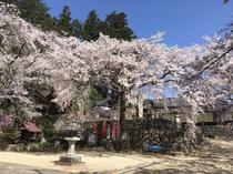 瑠璃寺の桜