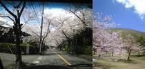 伊豆高原桜まつり:毎年春には桜のトンネルが綺麗です