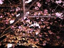 河津桜080213