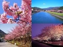 河津桜:早咲きのサクラは濃いピンクで花も密度が濃くとても綺麗です