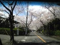 桜並木・伊豆高原桜祭り