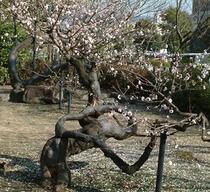 松井神社の臥龍梅
