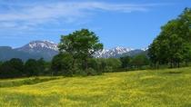 【夏】笹ヶ峰キンポウゲ。笹ヶ峰牧場キンポウゲは6月中旬が見頃