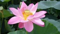 高田公園・蓮の花・・7月下旬から咲き始める、東洋一の蓮