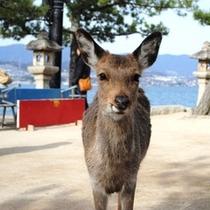 宮島の鹿 ひとり旅