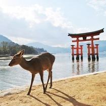 夕暮れの宮島(厳島神社) 鹿くん
