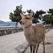 宮島の鹿くん2