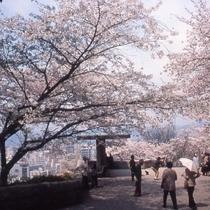 広島比治山公園の桜