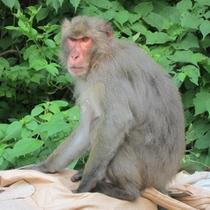 奥伊根の可愛いお猿さん
